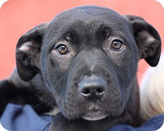 Pit Bull Terrier/Labrador Retriever Mix Puppy for adoption in Lyons, New York - Cubby