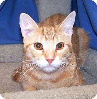 Domestic Shorthair Cat for adoption in Colorado Springs, Colorado - Baja