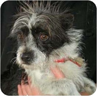 Wirehaired Fox Terrier Mix Dog for adoption in Sunnyvale, California - Dandy