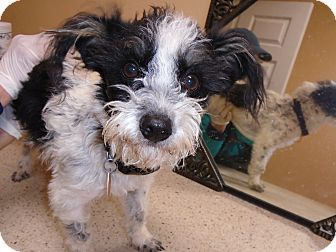 Terrier (Unknown Type, Small) Mix Dog for adoption in Woodward, Oklahoma - Lucky Oreo