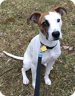 Jack Russell Terrier/Boxer Mix Dog for adoption in Staunton, Virginia - Archie