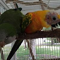 Parakeet - Quaker for adoption in Punta Gorda, Florida - Cosmo