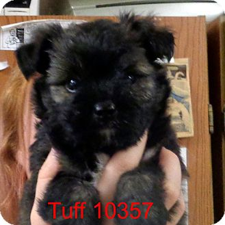 Shih Tzu/Pug Mix Puppy for adoption in Manassas, Virginia - Tuff