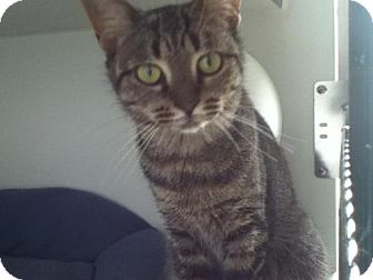 Domestic Shorthair Cat for adoption in Hamilton, Ontario - Scarlett