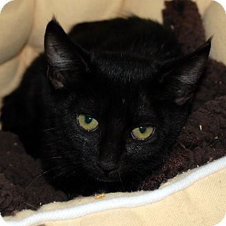 Domestic Shorthair Kitten for adoption in Hayden, Idaho - Inky