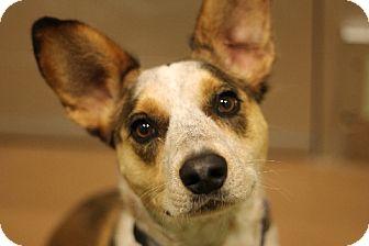 Cattle Dog Mix Dog for adoption in Chicago, Illinois - Stitch