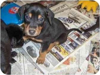 Miniature Pinscher/Terrier (Unknown Type, Medium) Mix Puppy for adoption in Ephrata, Pennsylvania - Terrier mix 6
