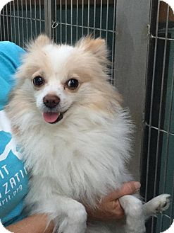 Pomeranian Dog for adoption in Fountain Valley, California - Jordy