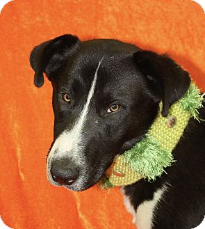 Border Collie Mix Dog for adoption in Jackson, Michigan - Bolt
