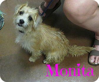 Cairn Terrier Mix Dog for adoption in Scottsdale, Arizona - Monita