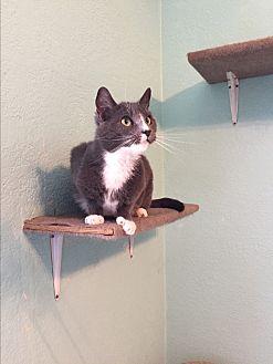 Domestic Shorthair Cat for adoption in Walnut Creek, California - Pandora
