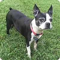 Adopt A Pet :: Livia - Jackson, TN