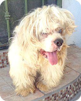 Cocker Spaniel Mix Dog for adoption in Santa Ana, California - Bucky (A)