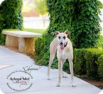 Greyhound/Mastiff Mix Dog for adoption in Lubbock, Texas - Cheyenne