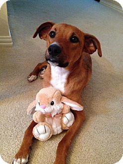 Labrador Retriever Mix Dog for adoption in Brattleboro, Vermont - Simba