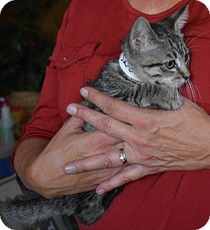Domestic Shorthair Kitten for adoption in Surrey, British Columbia - Sara