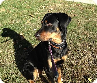 Rottweiler/Hound (Unknown Type) Mix Dog for adoption in Edgewater, New Jersey - Dana