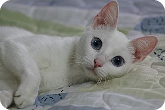 Domestic Shorthair Cat for adoption in Ocean Springs, Mississippi - Dallas