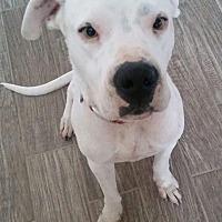 Adopt A Pet :: Ammo - Allen, TX