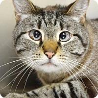 Adopt A Pet :: Tiger - Dublin, CA