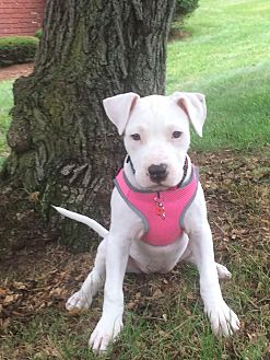 Boxer Mix Puppy for adoption in Southbury, Connecticut - Lila ~ meet me!