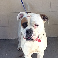 American Bulldog Mix Dog for adoption in Beverly Hills, California - I1277882 @ Inland Valley Human