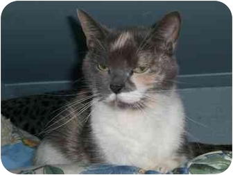 Calico Cat for adoption in Lombard, Illinois - Scarlet