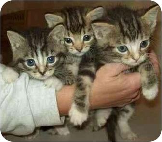 Domestic Mediumhair Kitten for adoption in North Judson, Indiana - Teeny Kitties