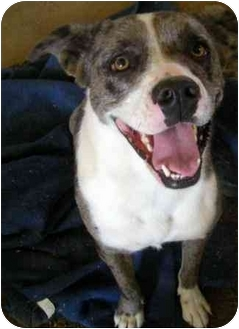 Catahoula Leopard Dog/American Pit Bull Terrier Mix Dog for adoption in Palmdale, California - Cindy Lou