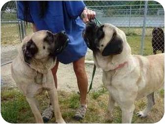 Mastiff Dog for adoption in Grants Pass, Oregon - Sugar & Dutchess
