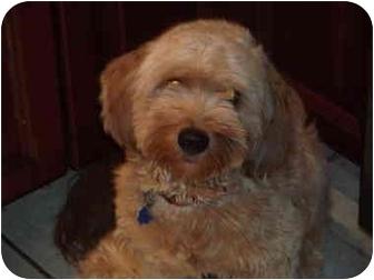 Cocker Spaniel/Pomeranian Mix Dog for adoption in Coudersport, Pennsylvania - LOGAN