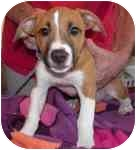 Rat Terrier Mix Puppy for adoption in Jacksonville, Florida - Porthos