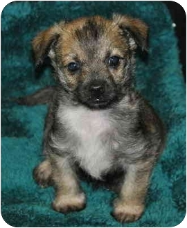 Maltese/Yorkie, Yorkshire Terrier Mix Puppy for adoption in La Habra Heights, California - Baby Jack