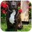 Photo 2 - American Pit Bull Terrier Mix Dog for adoption in Berkeley, California - Isaac