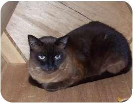 Burmese Cat for adoption in Makawao, Hawaii - Cookie