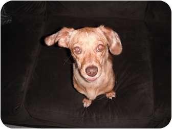 Dachshund/Boston Terrier Mix Dog for adoption in Baltimore, Maryland - Doree