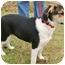 Photo 3 - Corgi/Beagle Mix Puppy for adoption in Westport, Connecticut - *Angela - PENDING