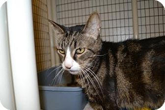 Domestic Shorthair Cat for adoption in Edwardsville, Illinois - Mike