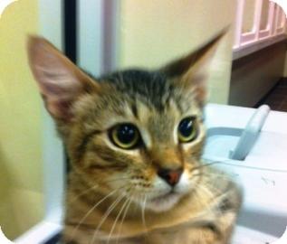 Domestic Shorthair Kitten for adoption in Columbus, Georgia - Avagadro 2815