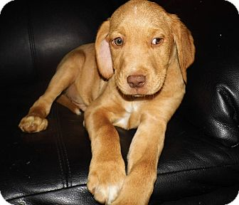 Labrador Retriever Mix Puppy for adoption in Bel Air, Maryland - Chap