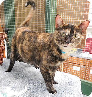 Domestic Shorthair Cat for adoption in Grinnell, Iowa - Catness