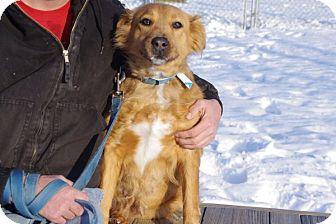 Golden Retriever/Labrador Retriever Mix Dog for adoption in Elyria, Ohio - Raven