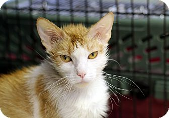 Domestic Shorthair Cat for adoption in Chicago, Illinois - Tatting