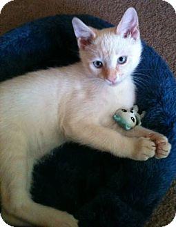 Siamese Kitten for adoption in Davis, California - Flash