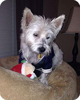 Westie, West Highland White Terrier Dog for adoption in Frisco, Texas - Charlie