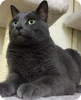 Russian Blue Cat for adoption in Riverside, California - Shadow