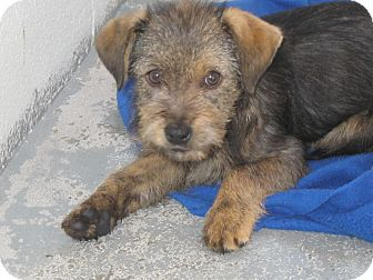 Terrier (Unknown Type, Medium) Mix Puppy for adoption in Manning, South Carolina - Lexi