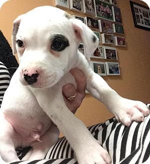 American Bulldog Mix Puppy for adoption in Palmetto Bay, Florida - Percy