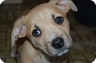 Pug/Beagle Mix Puppy for adoption in CHICAGO, Illinois - PENNY