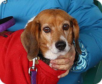 Beagle Mix Dog for adoption in Richmond, Virginia - Woodrow